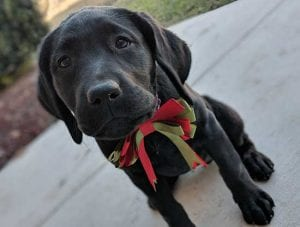 Schatzie, a service puppy in training in San Antonio, joined our program in 2017 from our partner Bergin College of Canine Studies