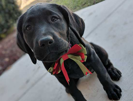 Schatzie, a service puppy in training in San Antonio, joined our program in 2017 from our partner Bergin University of Canine Studies