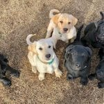 Puppies from Paws for Purple Hearts-Southeast Region