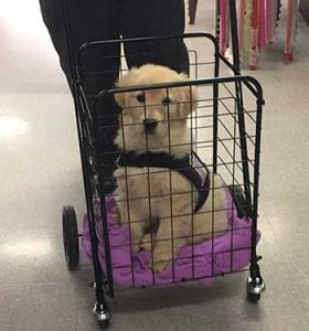 PRRC Veteran takes 4 month old Ronnie on a field trip in a puppy cart.