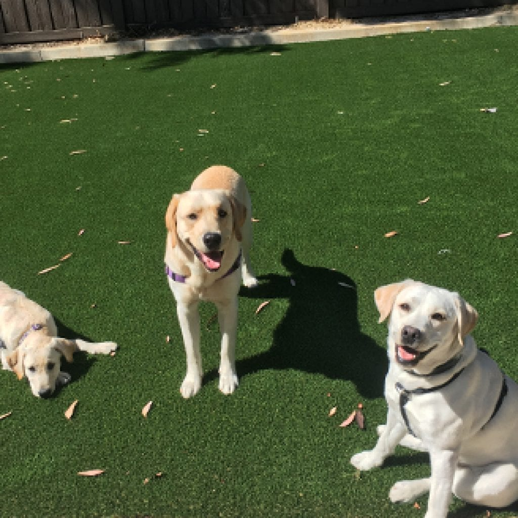 3 PPH dogs- in training relaxing on new turf at PPH facility