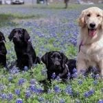 PPH San Antonio Puppies in Training enjoy a break in the Texas Bluebonnets