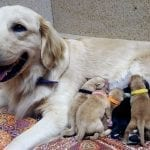 Tera and her puppies, who are only one day old! You can see Drew (black collar) and Liberty (pink collar) on the left.
