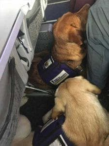 Buck and Cheechako curl up to fit comfortably under the airplane seat.