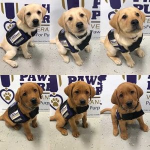 P2H puppies in vests