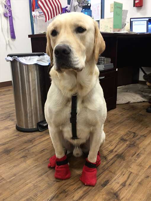 Service dog-in-training, Ralph, tries on his booties in preparation for a long, cold winter in Interior Alaska.