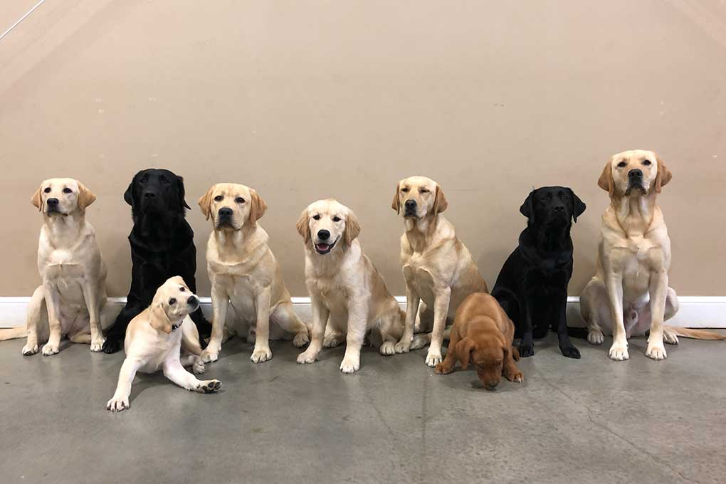 All nine of our service dogs in training!