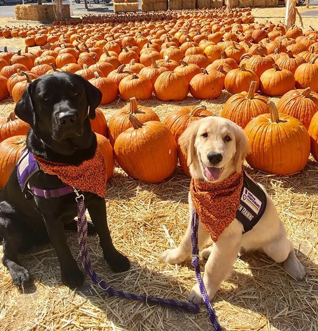 Our service dogs in training love to visit the pumpkin patch during October