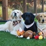 Menlo Park service dogs in training getting into the Thanksgiving spirit