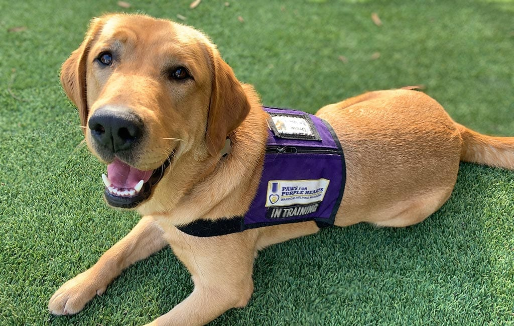 Wearing A Service Dog Vest Isn T An All Access Pass Paws For Purple Hearts