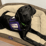 Six Month Old Beo is learning the ins and outs of being a Service Dog. Photographer: Danielle Stockbridge
