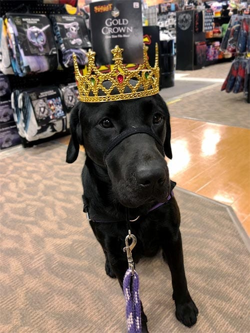 Bentley wearing a crown practicing wearing different items