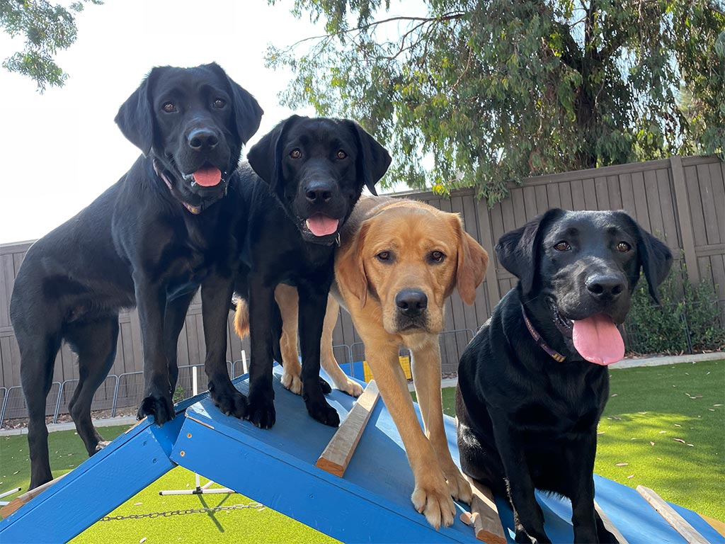 Dogs on Agility Ramp